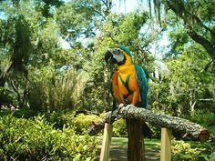 Beautiful Blue and Gold Macaw Wearing the Aviator Harness.  Eyjoying the great outdoors.