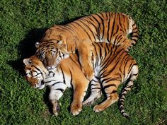 Tigers resting Photos portrait of a Siberian Tiger laying in a field of tall grass, tigers in love by De todo un poco Beautiful Cats, Animals Beautiful, Big Cats, Cats And Kittens, Siamese Cats, Animals And Pets, Cute Animals, Wild Animals, Baby Animals