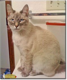 Read Sterling the Lynx Point Siamese's story from Spanaway, Washington and see his photos at Cat of the Day http://CatoftheDay.com/archive/2012/July/28.html .