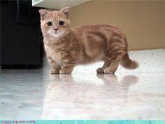 Scottish Fold Munchkin kitten... Squish! <3