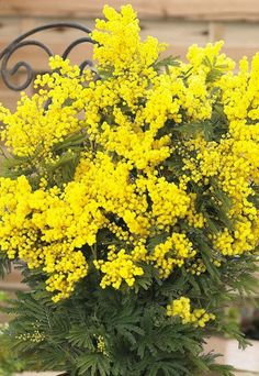 [Visit to Buy] New! 50 pcs / bag Golden Seed Yellow Mimosa flower seeds Perennial Tree Seeds bonsai potted plants Semente for Home & Garden Home Garden Plants, Bonsai Garden, Garden Trees, Rare Flowers, Yellow Flowers, Mimosas, Acacia Dealbata, Mimosa Plant, Gardens