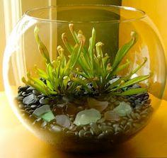 Fishbowl terrarium w/ carnivorous plants