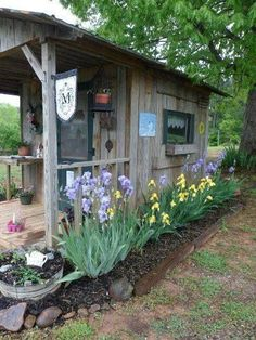 Rustic shed and iris
