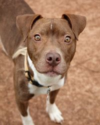 Lacey is an adoptable Pit Bull Terrier Dog in Alpharetta, GA. Dainty little Lacey is a 35 pound pocket pittie girl who is the perfect little southern belle. At only 1 years old she has mastered her et...