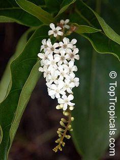 11 Best Garden Fragrant S Florida Images Garden Plants