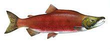 Sockeye or red salmon - Wikipedia, the free encyclopedia