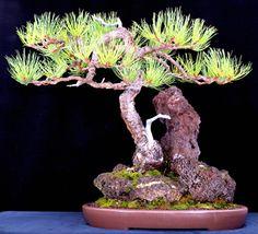 Ponderosa Pine -artofbonsai.org-