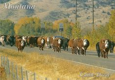 Montana Cattle Drive by *alright, via Flickr Longhorn Cattle, Big Sky Montana, Cattle Drive, Big Sky Country, Cowboy Art, Livestock, Wild West, Wyoming, Wonderful Places