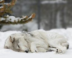 A sleeping wolf looks gentle, but when it wakes it becomes a mighty fighter Wolf Spirit, My Spirit Animal, Wolf Pictures, Animal Pictures, Beautiful Creatures, Animals Beautiful, Beautiful Images, Sleeping Wolf, Sleeping Beauty