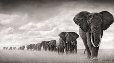 Magnífica By Nick Brandt. Amazing photos, and he does amazing things protecting wildlife in Africa.By Nick Brandt. Amazing photos, and he does amazing things protecting wildlife in Africa. Nick Brandt, Elephant Walk, Elephant Love, Elephant Parade, White Elephant, Elephant Family, Elephant Images, Elephant Meaning, Elephant Quotes