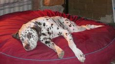 Dalmatian, Billy's a Giant on his extra large Barka Parka pet bed Giant Dog Beds, Bean Bag Bed, Dalmatians, Large Dogs, Dog Care, Parka, Giraffe, Pets, Fun