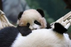 baby panda bear in Chengdu, China