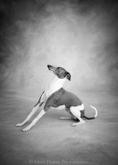 """Italian Greyhound. """"To his dog, every man is Napoleon, hence the constant popularity of dogs."""" -- Aldous Huxley"""