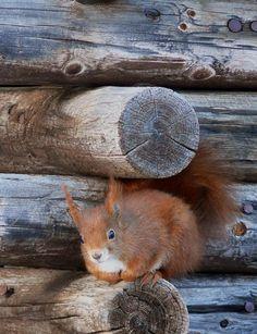Eichhörnchen / Squirrel. Morteratsch. Graubünden. Schweiz.