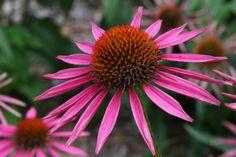 A photo of Echinacea 'Pica Bella' Coneflower