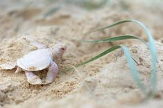 Meet Alby, an Adorable and Rare Albino Green Turtle