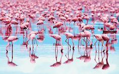 The flamingoes of Lake Nakuru, Kenya.