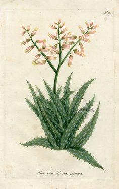 Aloe vera Costa spinosa (943×1500)