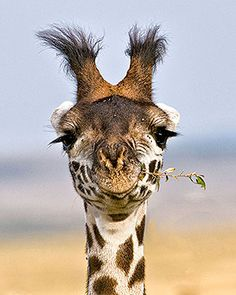♥PIC♥ 63 I can not stop laughing at this for some reason♀ Animal kingdom wildlife photography African Maasai Giraffe Animals And Pets, Baby Animals, Funny Animals, Cute Animals, Beautiful Creatures, Animals Beautiful, Beautiful Eyes, Photo Animaliere, Tier Fotos
