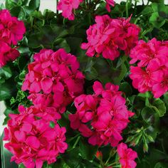 Trailing geranium ivy how to grow ivy leaf geranium plants geraniums ivy and how to grow - How to care for ivy geranium ...