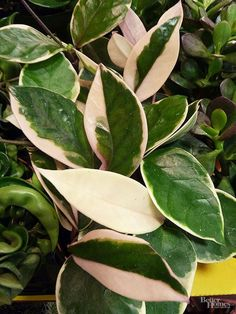 A gorgeous slow-growing vine, Hoya, or wax plant, thrives in bright indirect light, but does almost as well in darker locations. Hoya comes in either flat-leaved or crinkled- leaved forms and will occasionally produce clusters of highly fragrant white flowers. Flat-leaved Hoya also comes in solid green or variegated cream-and-green leaves. You can train a Hoya up a trellis or totem or allow it to trail over the edge of a pot or urn. Water only when the soil feels dry to the touch.