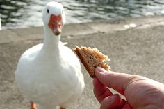 You Should Never Feed Bread To Ducks, And Here's Why