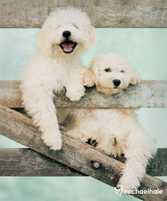 Harley and Felicity (Hungarian Puli Puppy) - For Harley and Felicity this is a gateway to a lifelong friendship.
