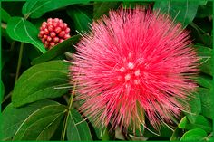 It was all the rage back in the late '80's... Click to read Wednesday's Story: http://floatingpetals.net/member_access/wednesdays_story_121813/ Pink Powder Puff, Calliandra haematocephala