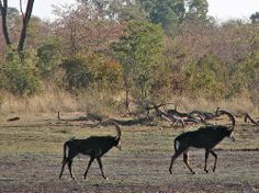 Hippotragues, parc national de Mahango, coté Namibie