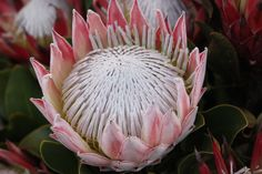 Protea, South Africa