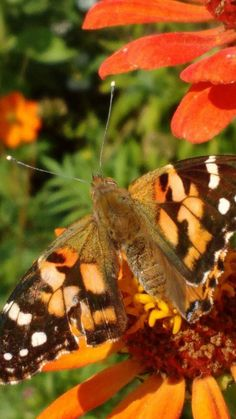 Moth, Insects, Butterflies