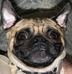 Pug + Funny LIKE THIS PIN IF YOUR PUG DOES THIS, TOO!!!