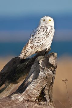 Alert Snowy Owl at Damon Point State Park in Washington State by Lee Rentz by Lee Rentz**
