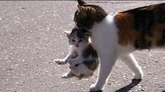 Mama Cat Carrying Baby Kittens Videos Compilation 2017 – Pets, Dogs, Cats Caring Tips and Pictures I Love Cats, Crazy Cats, Cool Cats, Cute Kittens, Cats And Kittens, Kittens Meowing, Beautiful Cats, Animals Beautiful, Baby Kitten Videos