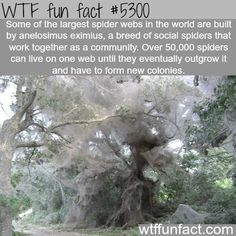 WHOA! ...Largest spider webs - NOPE! Jus NOPE!  ~WTF NOT-a-fun fact!  FIRE, Kill them all with Fire!