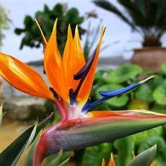 Flor ave del Paraíso ou Estrelitzia