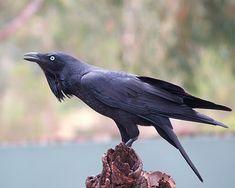 Crows of the World 2 (alverdens kragefugle) - general description Power Animal, My Animal, Animal Dictionary, Australian Parrots, The Crow, Merle, Blackbird Singing, Quoth The Raven, Crow Bird