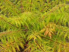 tiger eye cut leaf sumac; Rhus typhina 'Bailtiger'