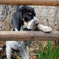 Blue tick coon hound, get ready for some coon hunting! Hound Puppies, Hound Dog, Cute Puppies, Cute Dogs, Dogs And Puppies, Doggies, Love My Dog, Puppy Pictures, Dog Photos