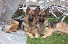 Image result for long haired alsatian dog