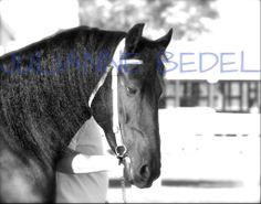 Zayden Zoey of Last Knight.  Friesian gelding owned by Venus Family Friesians. Training with Shannon Cessna at Cessna Stables.