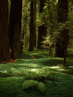 Redwoods: looks like a place to throw down a blanket & take a snooze. So peaceful. So tranquil.