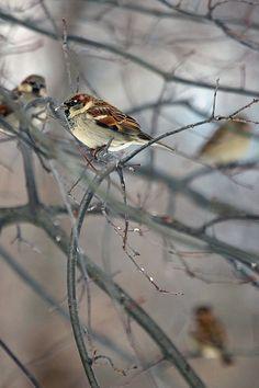 Sparrows   by laszlo-photo