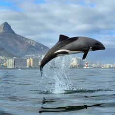 A killer whale in the waters off of Cape Town, South Africa, Africa.