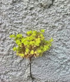 Roslinka na murze