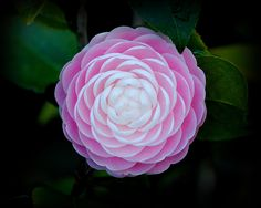 "~Camellia japonica ""Pink Perfection"""