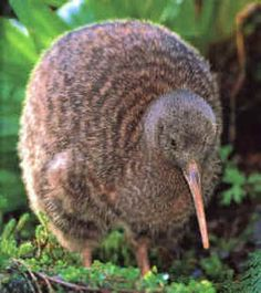 Kiwi bird from New Zealand