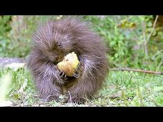A baby porcupine and her apple! Top contender for world's cutest baby animal. Video.