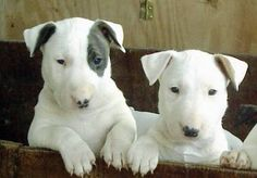 http://www.dogencyclopedia.org/english-bull-terriers.jpg