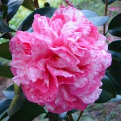 Vernon E. Howell Variegated Camellia japonica